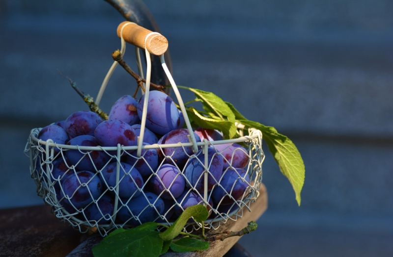 The País Grape, Our Heritage in America.